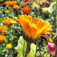 a gorgeous ocean of orange flowers
