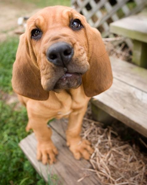Bloodhound_Puppy